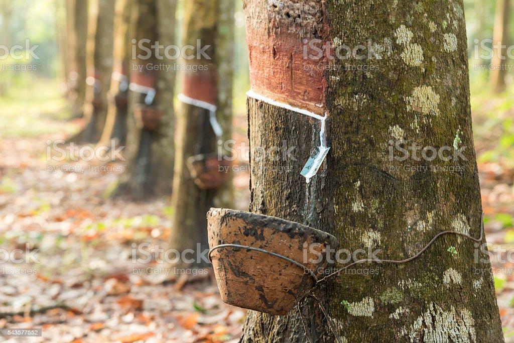 Harvesting of rubber tree stock photo