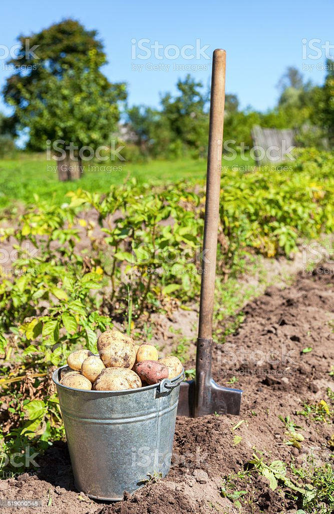 Harvesting of young fresh not  washed potatoes with metal bucket stock photo