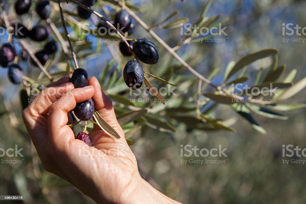Harvesting olives by hand stock photo
