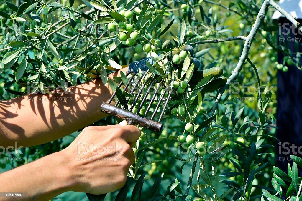 harvesting olives in Spain stock photo