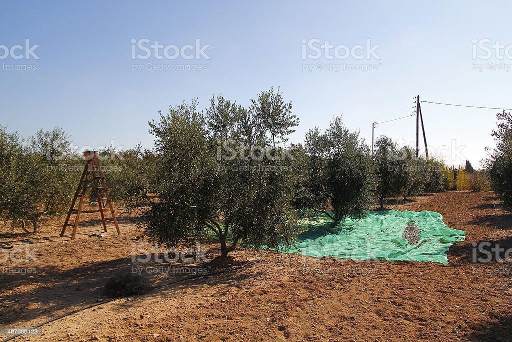 Harvesting olives stock photo