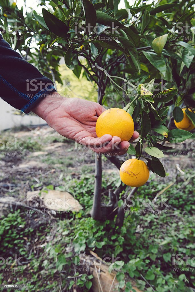 Harvesting orange stock photo