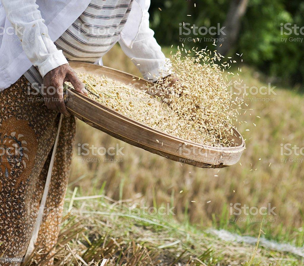 Harvesting paddy fields royalty-free stock photo