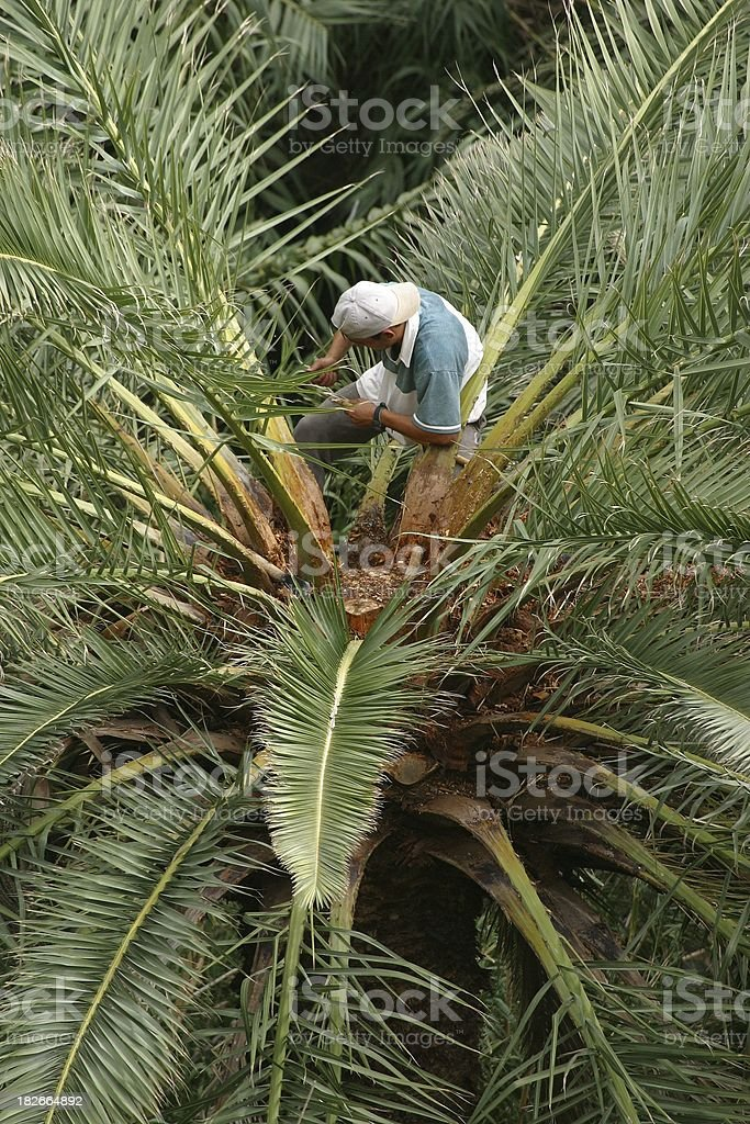 Harvesting palm sap royalty-free stock photo