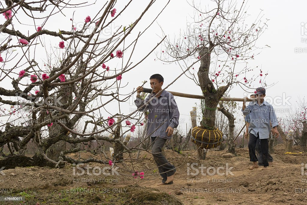 Harvesting peach flower tree royalty-free stock photo
