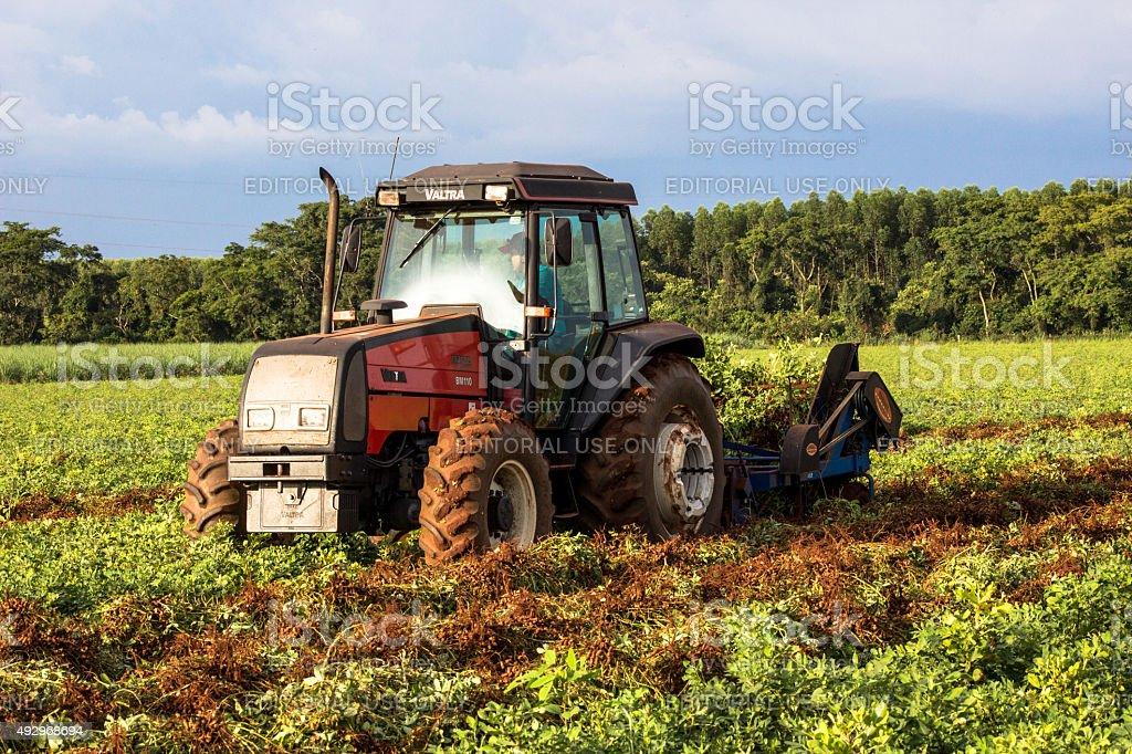 Harvesting Peanuts stock photo