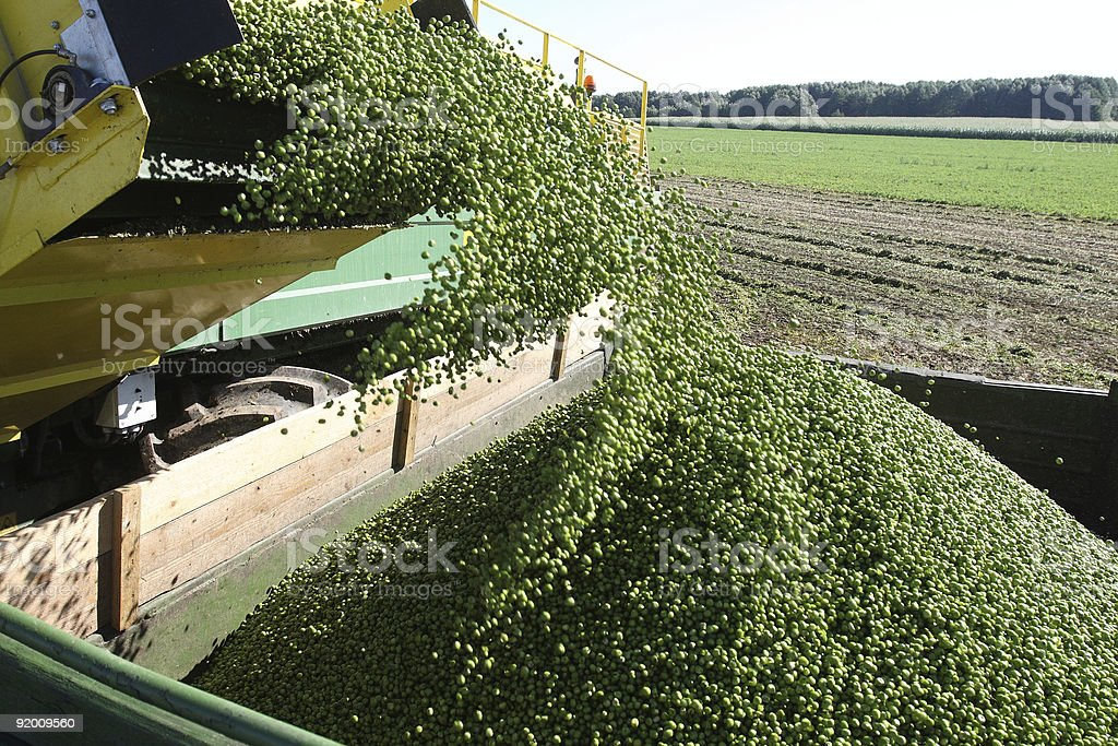 Harvesting peas royalty-free stock photo