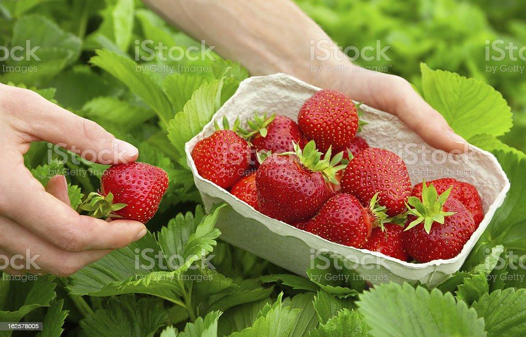 Harvesting perfect strawberries stock photo
