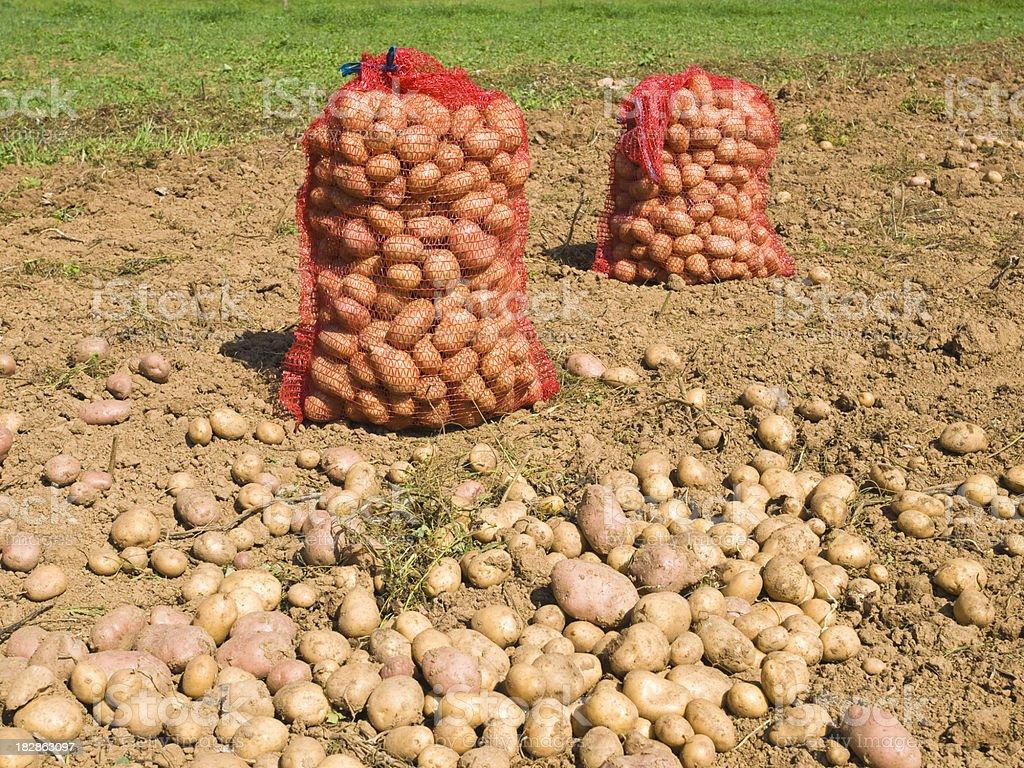 Harvesting potatoe stock photo