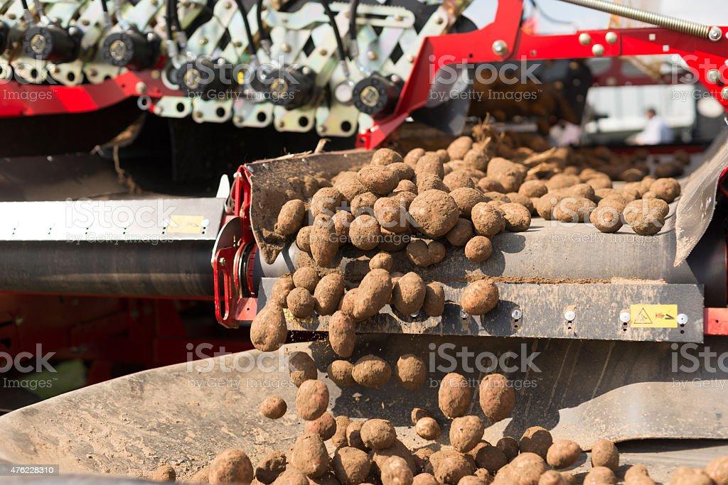Harvesting potatoes in summer stock photo