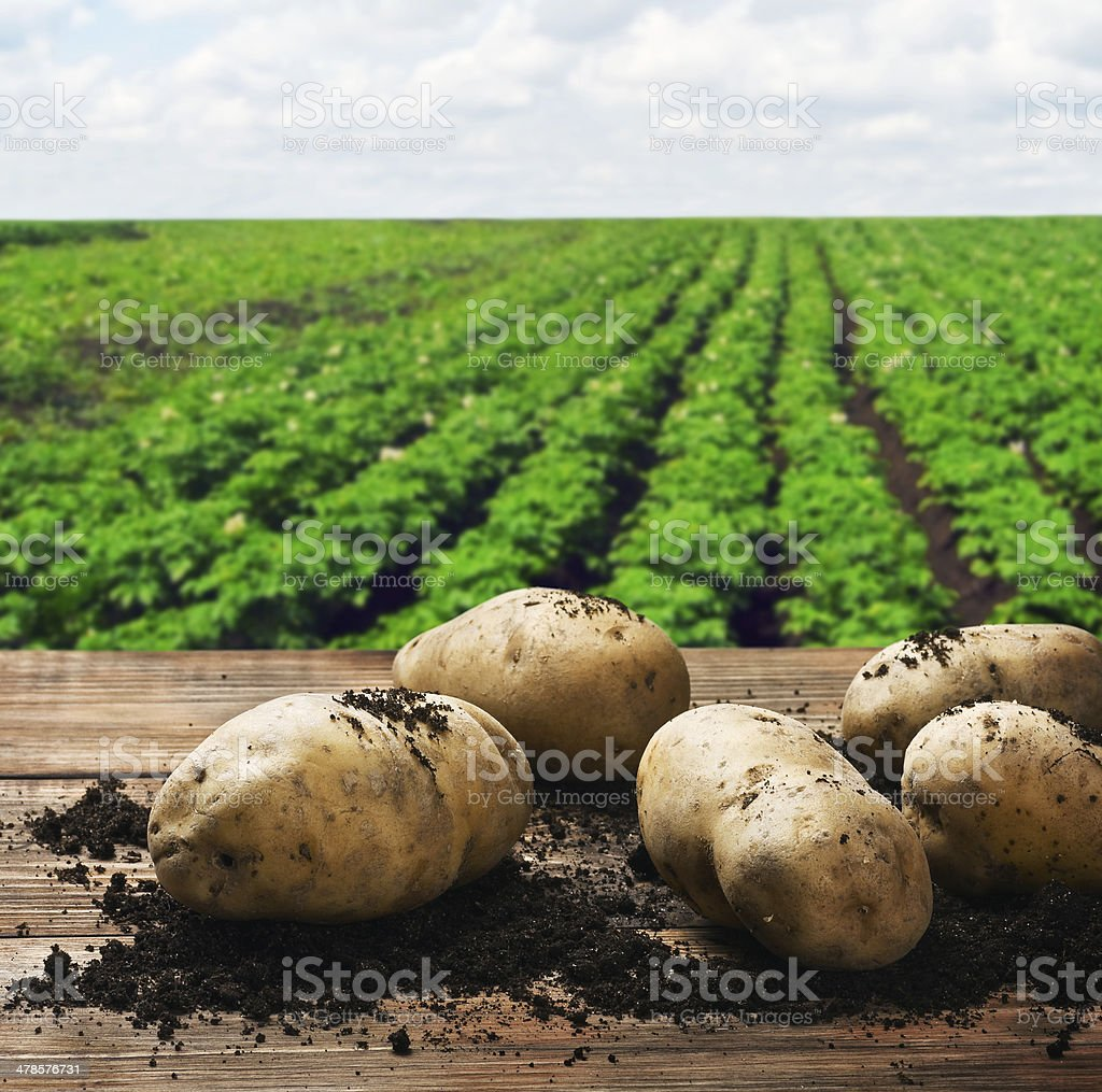 harvesting potatoes on the ground stock photo
