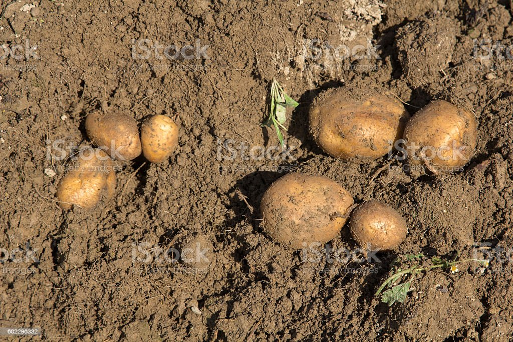 Harvesting potatoes - selective focus stock photo