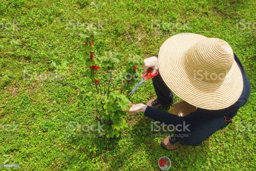 Harvesting Red Currant stock photo