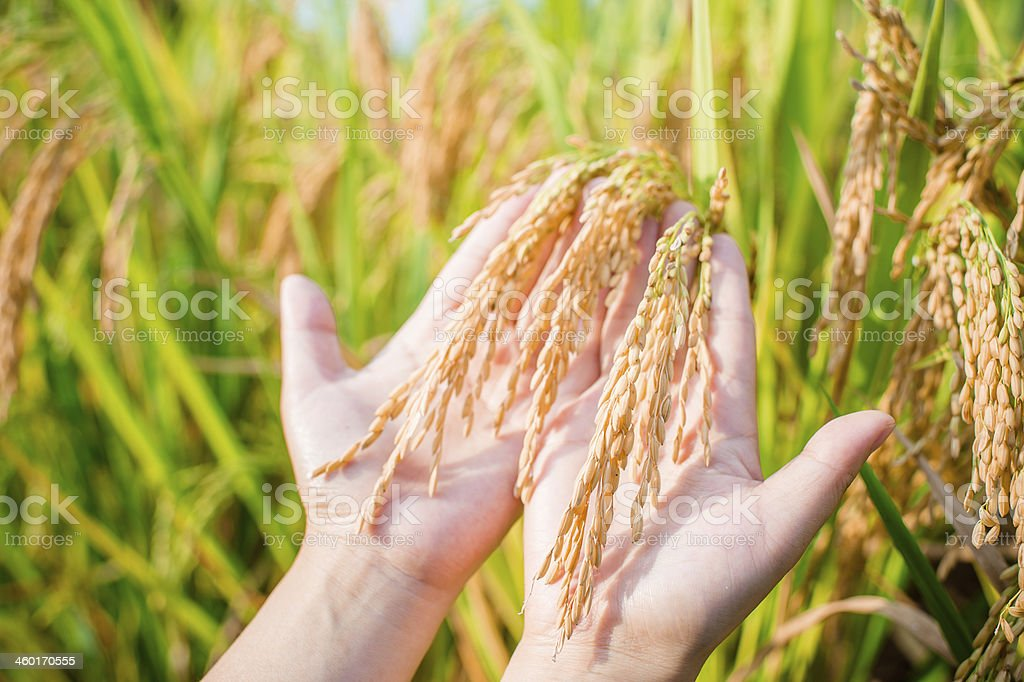 Harvesting Rice Crop royalty-free stock photo