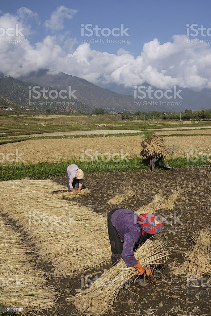 Harvesting Rice Fields in Bhutan, Paro Valley with Mountains (Vertical) stock photo
