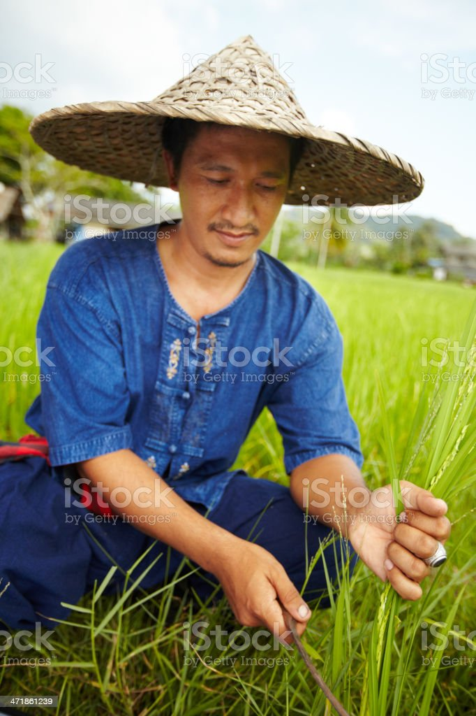 Harvesting rice in Thailand royalty-free stock photo