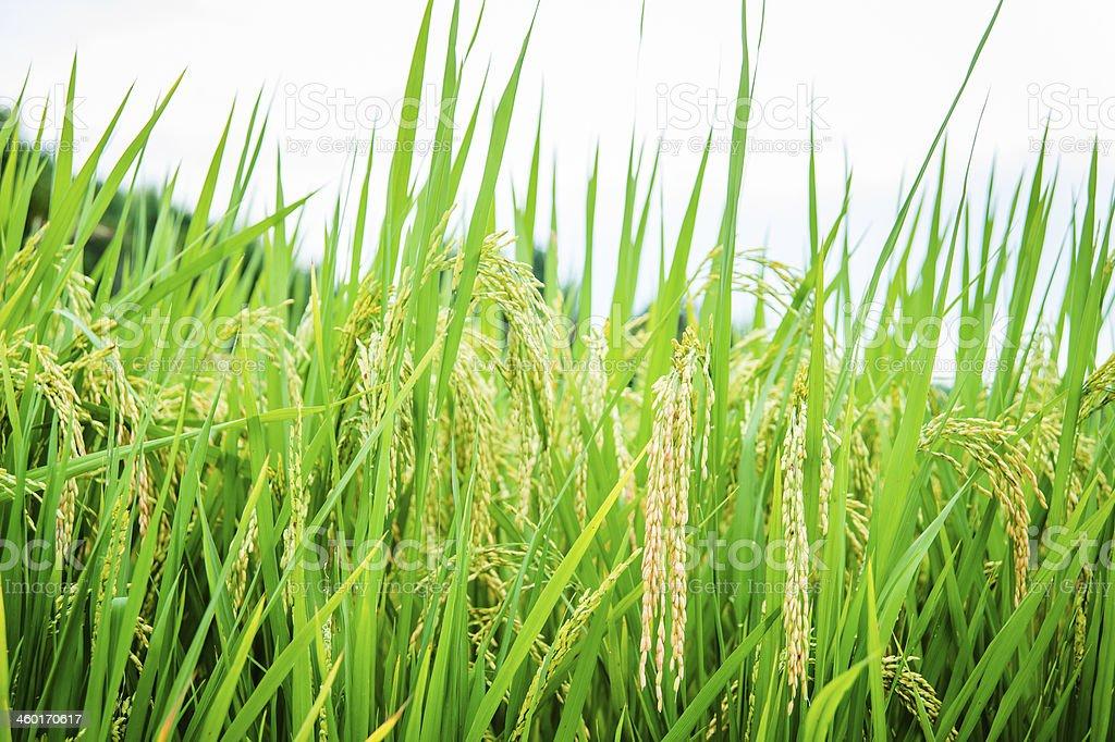 Harvesting Rice Paddy royalty-free stock photo