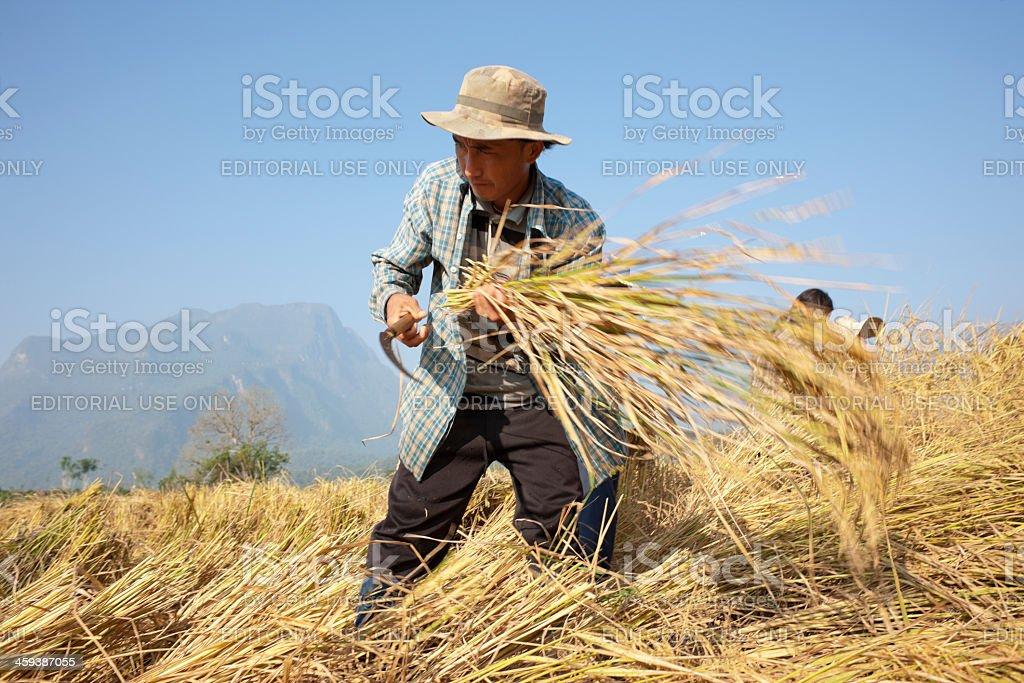 Harvesting rice. royalty-free stock photo