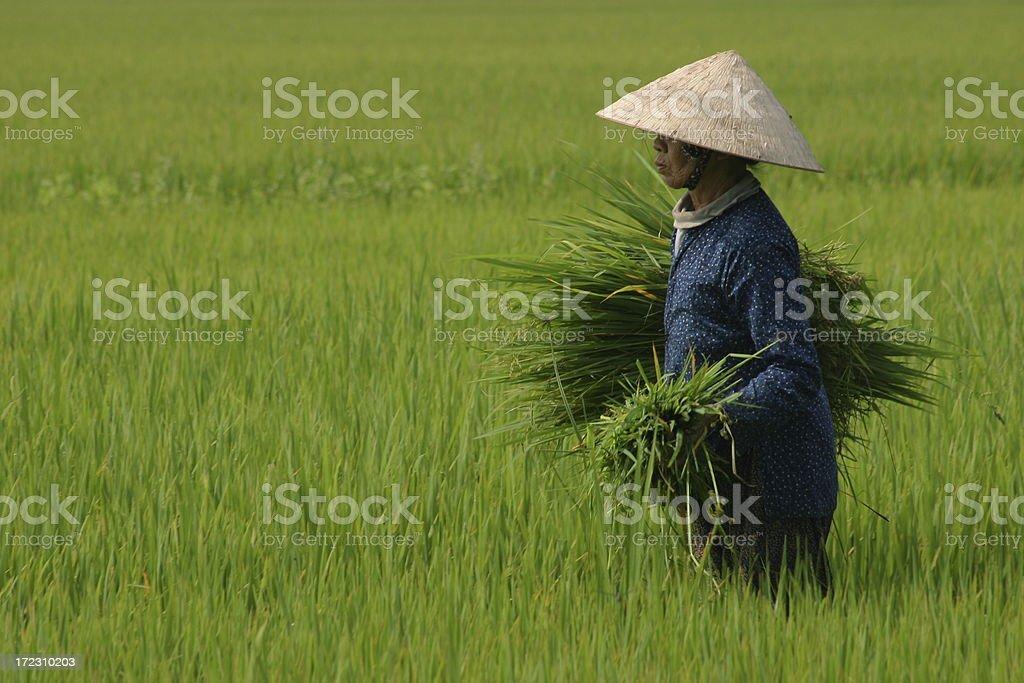 Harvesting Rice, Vietnam stock photo