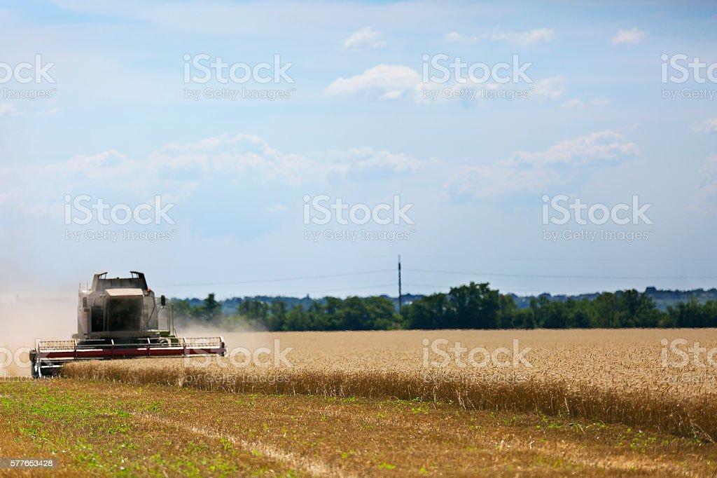 Harvesting ripe golden wheat. Background stock photo