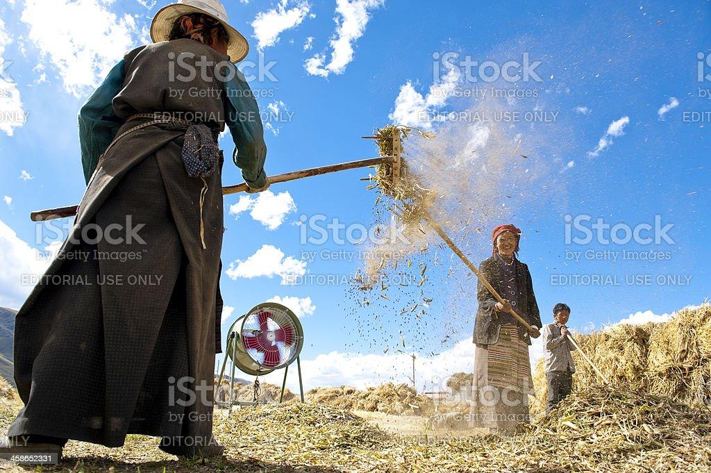 Harvesting season for tibetan people stock photo