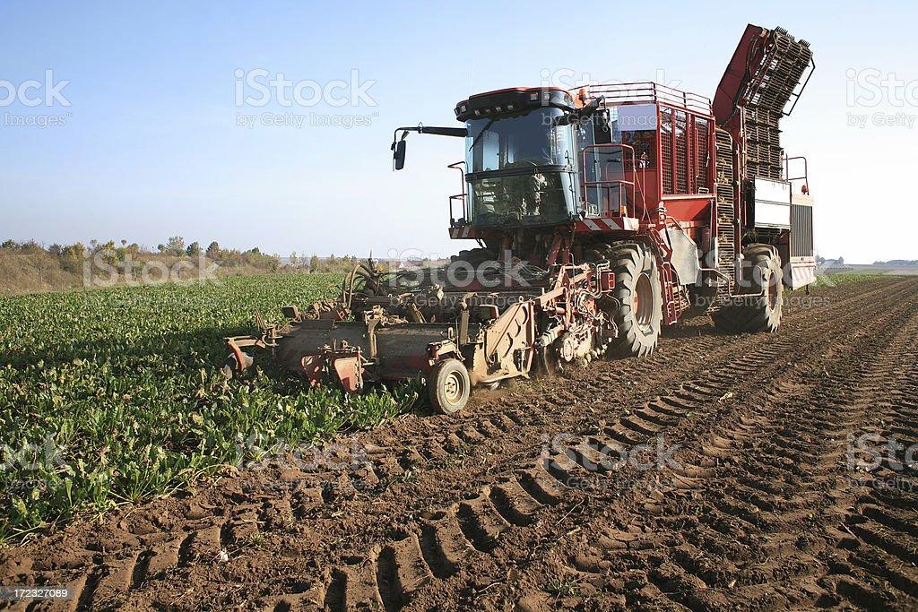 Harvesting sugar beets stock photo