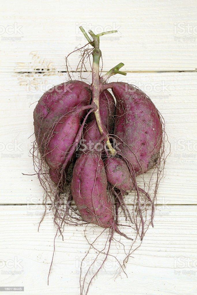 harvesting sweet potatoes royalty-free stock photo