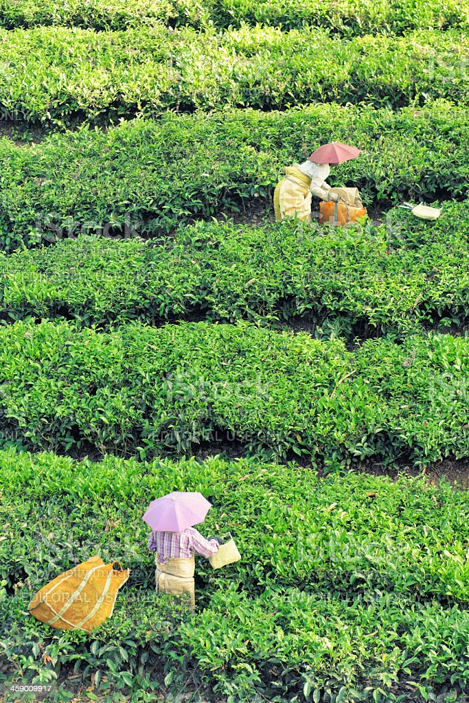 Harvesting tea in Kerala royalty-free stock photo