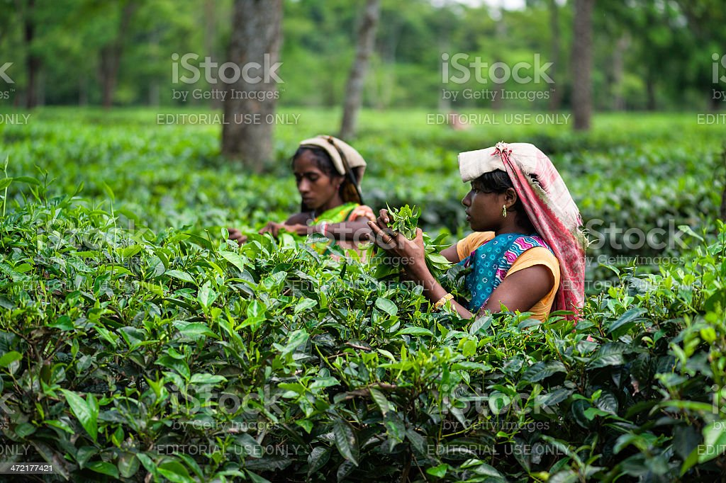 Harvesting tea leaves, Jorhat, Assam, India. stock photo