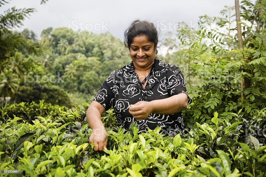 Harvesting tea royalty-free stock photo