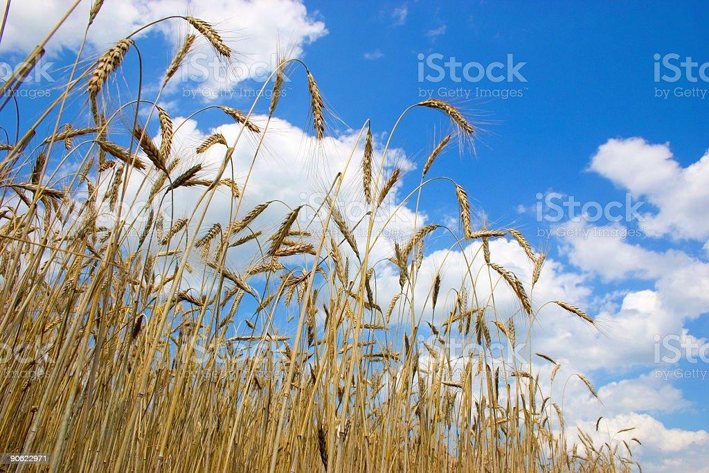 harvesting time royalty-free stock photo