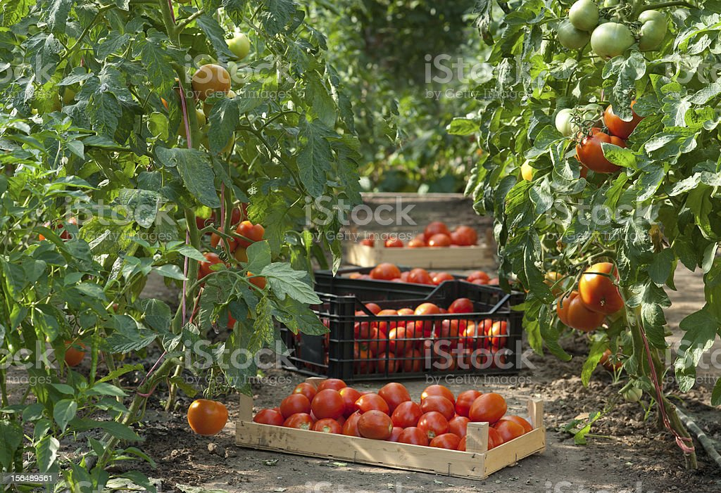 Harvesting  tomatoes royalty-free stock photo
