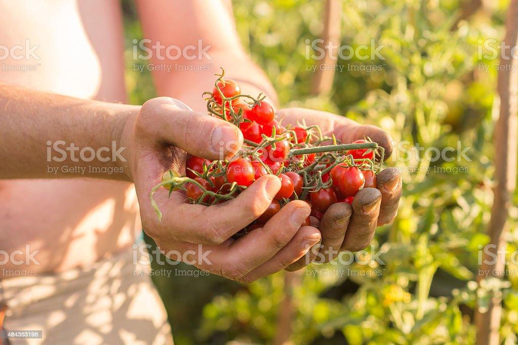 Harvesting tomatoes stock photo