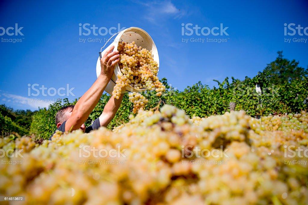 Harvesting White Grapes stock photo