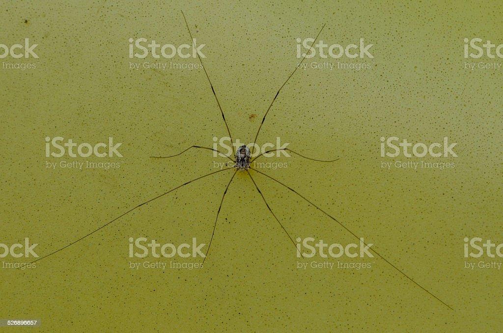 Harvestman (Phalangium opilio) or Daddy Long-Legs stock photo