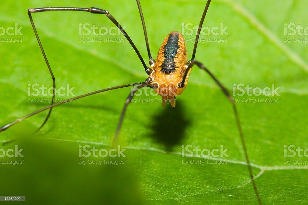 Harvestman spider stock photo