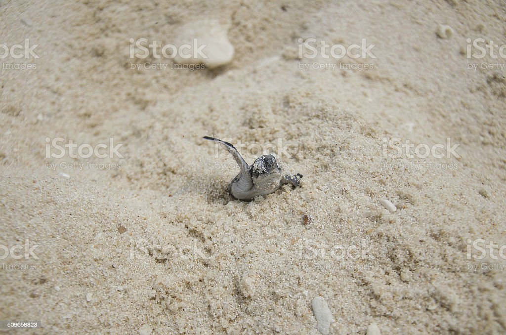Hatch out Hawksbill turtles stock photo