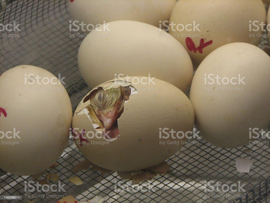 Hatching Chick stock photo