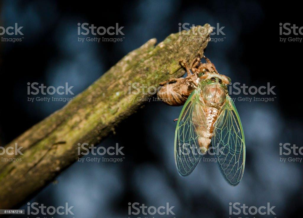 Hatching cicada royalty-free stock photo