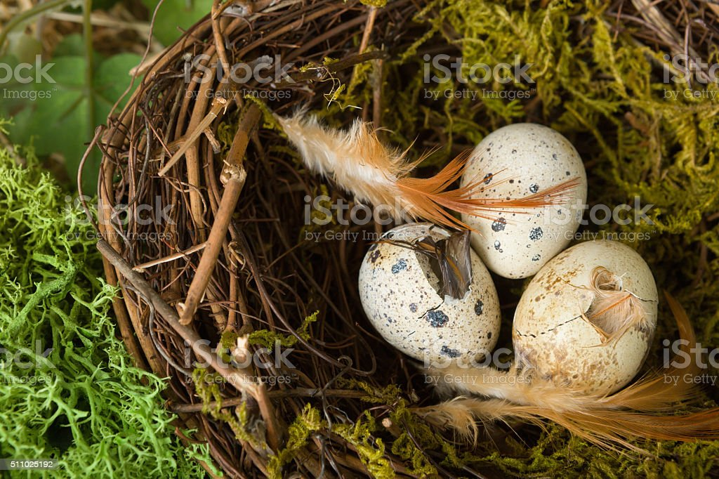Hatching eggs in nest stock photo