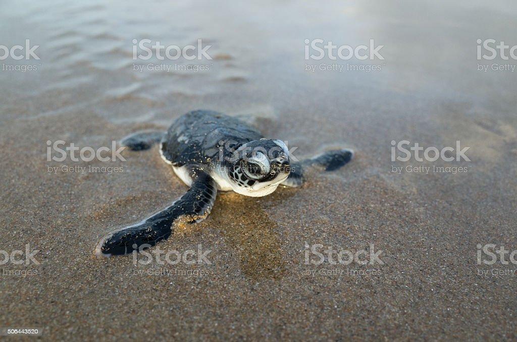Hatching green turtle (sea turtle) crawls across beach. stock photo
