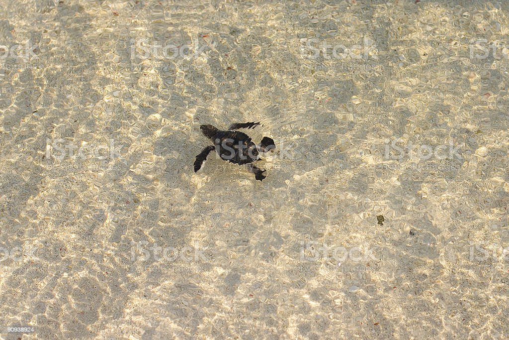 Hatchling Green Sea Turtle in the Ocean, Great Barrier Reef royalty-free stock photo