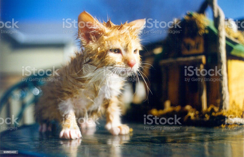 I Hate Flea Baths! royalty-free stock photo