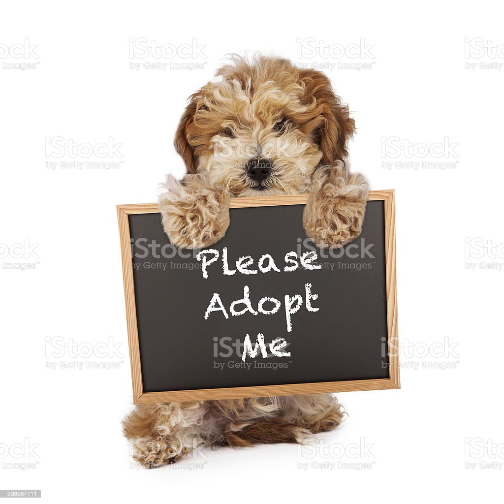 Havanese Crossbreed Holding Adopt Me Sign stock photo