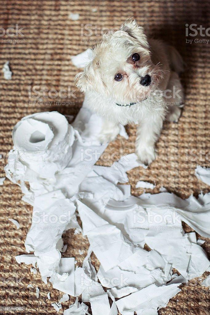 Havanese mix dog shredded toilet paper chaos stock photo