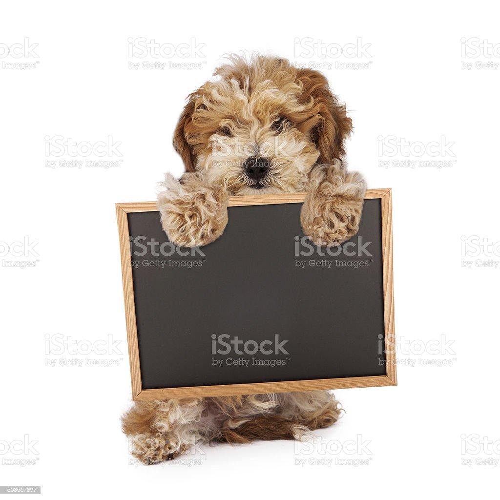 Havanese puppy holding blank chalk board sign stock photo