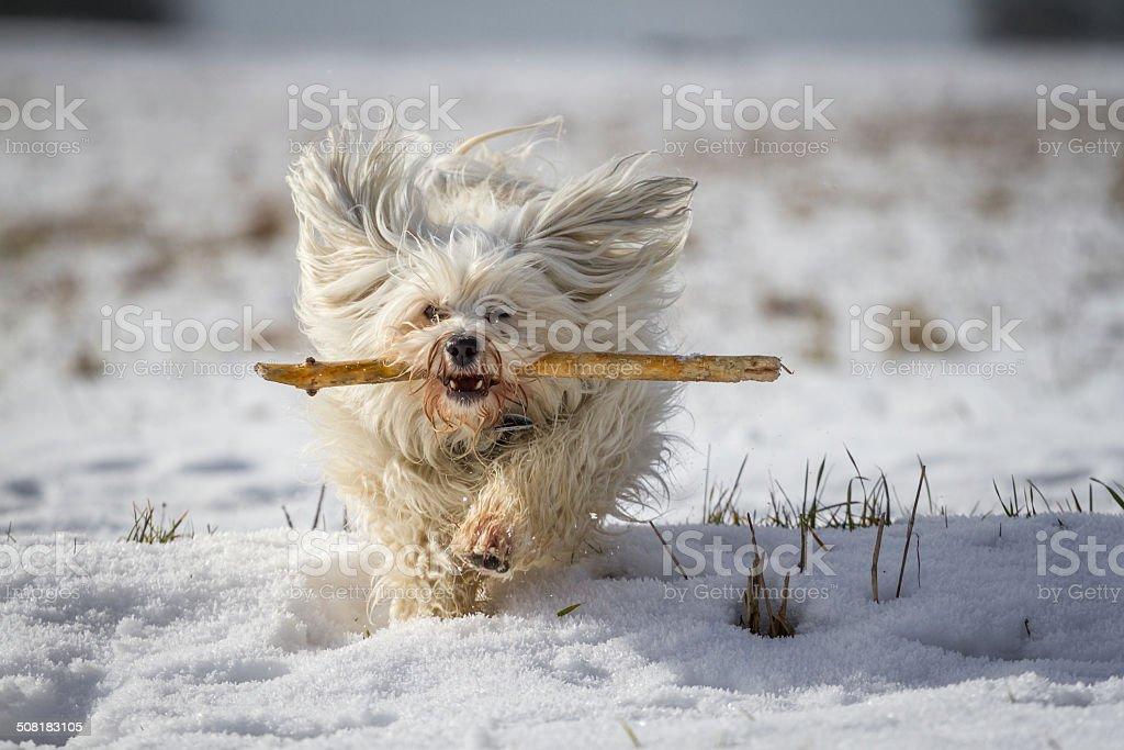 Havanese when retrieving stock photo