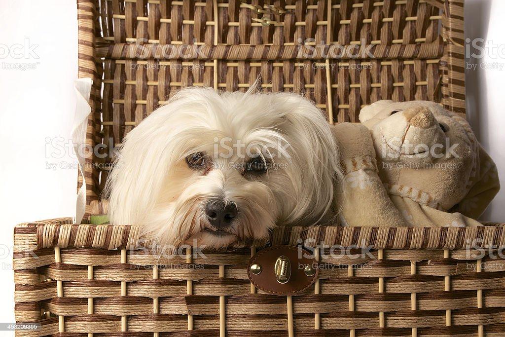 Havanese with teddy bear stock photo