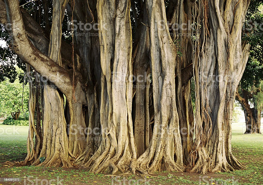 Hawaii banyan tree trunk stock photo