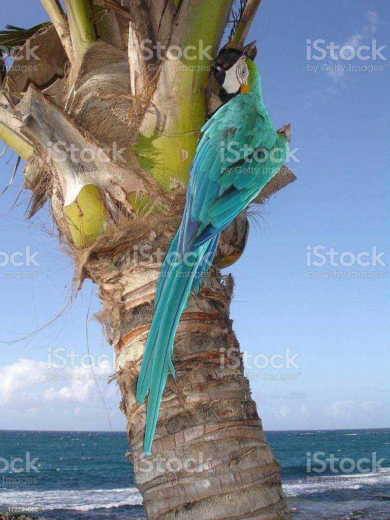 Hawaii Blue parrot stock photo